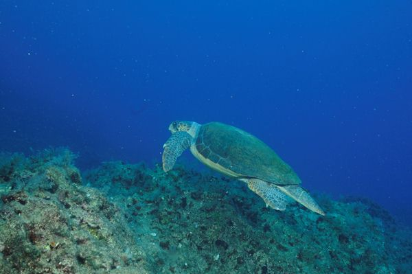 tortue caretta_Kas